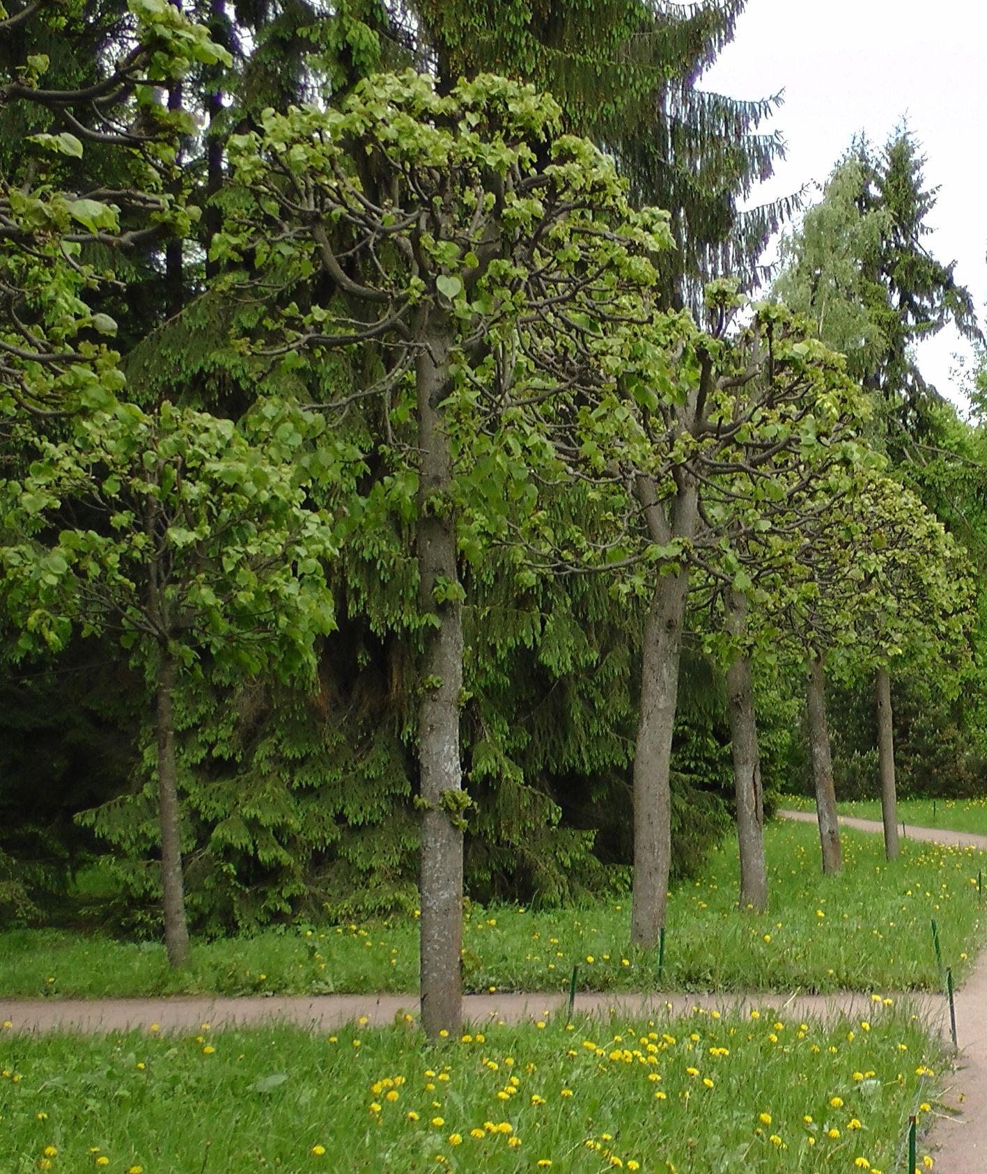 Деревья подмосковья фото и названия для детей